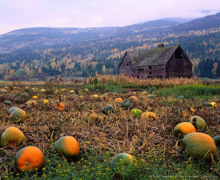 A 100-year-old barn stands in a field of pumpkins at Halloween. Salmon Arm, British Columbia, Canada.