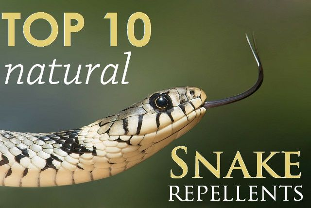 Snakes are non-aggressive living creatures. There's no need to kill them! If they are bothering you by entering your property, there's only one solution to your problem: repel them naturally!  Repellent Zone shares a great guide that covers everything from snake repellent plants, to snake proof-fencing. There's even a homemade snake repellent recipe and it shows you how to use essential oils to keep snakes away!  Read the entire guide at: http://www.repellentzone.com/natural-snake-repellent-