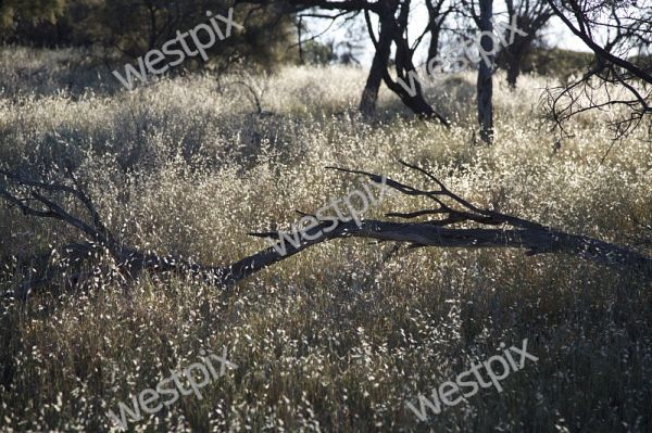 Grass against low sun in winter in the Wheatbelt. Picture: Stephen Scourfield The West Australian