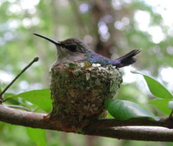 Bee Hummingbird (Female): Endemic to Cuba, the smallest bird in the world