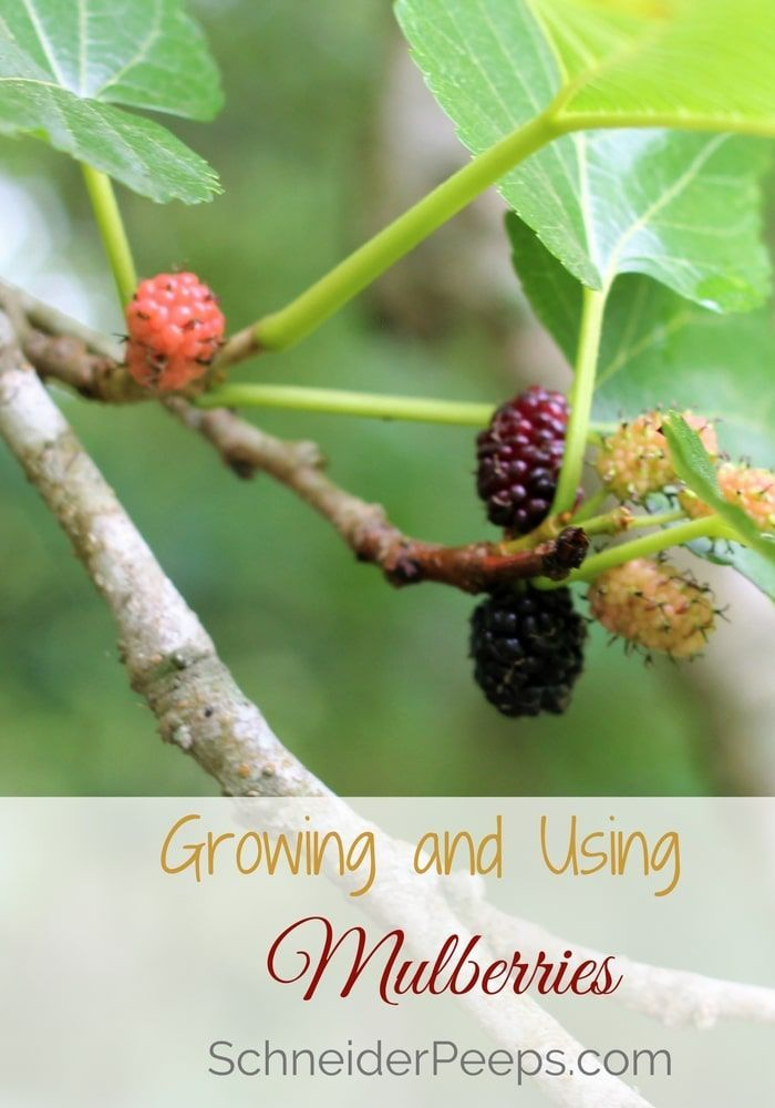 A mulberry tree is a must for your homestead or backyard. Mulberry trees are fast growing shade trees and provide food for your family and fodder for chickens, ducks, goats and other livestock.