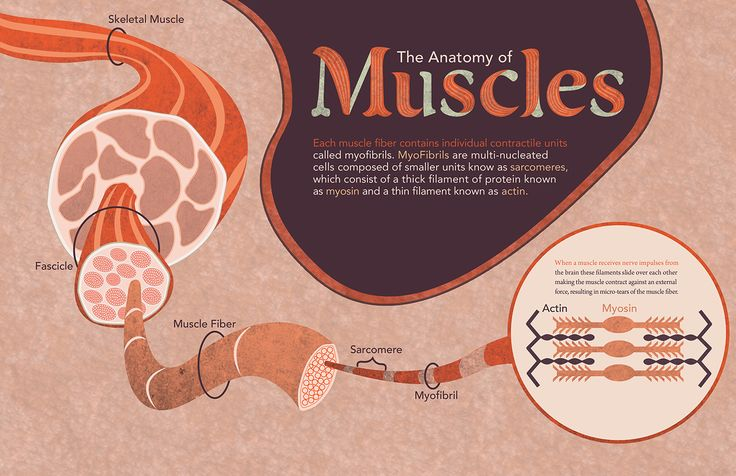 How Muscles Grow: science exhibition by Nick Mantia