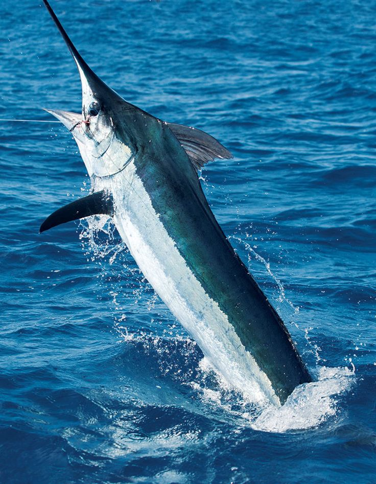 Azores Blue Marlin Fishing