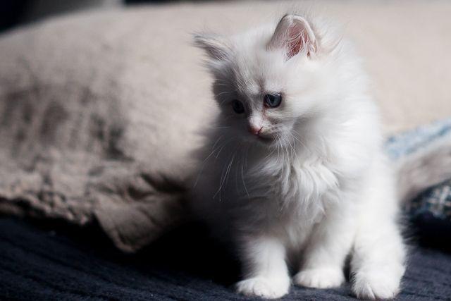 Luka, 7 week, kitten neva, blue tabby, bicolor