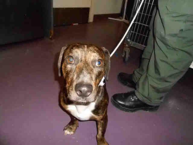 Miniature English Bulldach dog for Adoption in Long Beach, CA. ADN-697475 on PuppyFinder.com Gender: Male. Age: Young