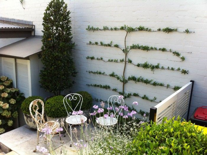 Espaliered olive