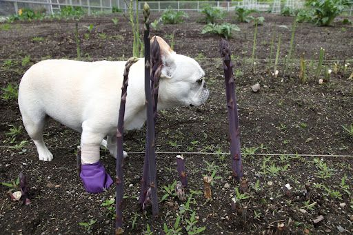 "Martha Stewart's Frenchie, ""Sharkey"" with booties.  I need to make little ones like these for Pen for when it rains.: Animals, Pets Improve, My Pets, Purple Booties, Penny Lane, Rain"