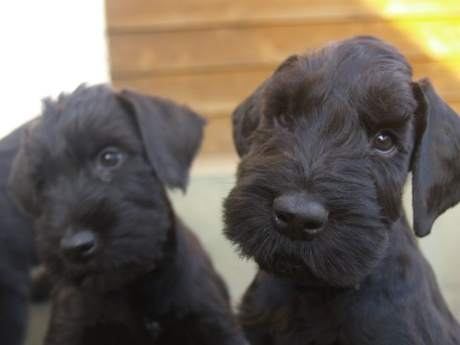Giant Schnauzer pups are ridiculously cute.  Gimme that puppy breath! I think I need one!