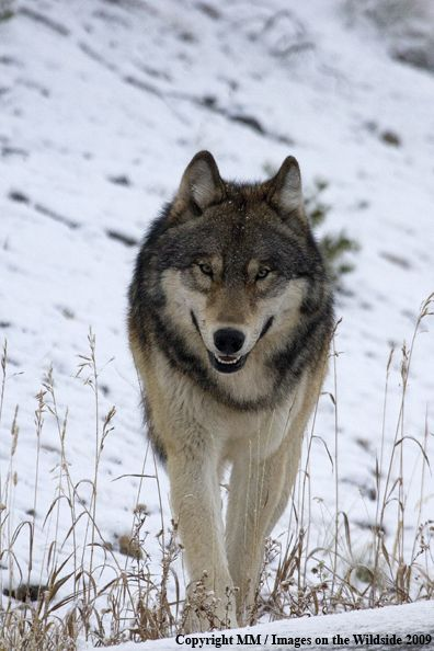 "In memoriam to Rock Star Wolf, the most popular wolf in Yellowstone, recklessly killed last week for the crime of leaving the park. I salute you, and apologize for our species whose ""intelligence."" apparently doesn't include foresight or compassion. May your death awaken the human spirit to prevent further senseless killings. see link below-picture represents Rock Star, but is not Rock Star as far as I know. http://news.yahoo.com/blogs/lookout/famous-wolf-shot-yellowstone-192609281.html"