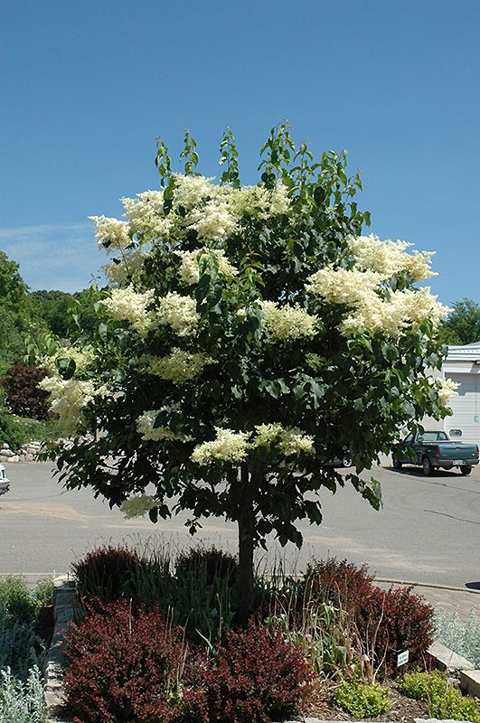 Snowdance Anese Tree Lilac Syringa Reticulata Bailnce At The Mustard Seed For Garden Pinterest Plants And