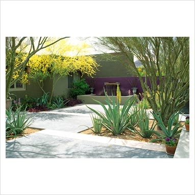 Minimal garden using colour planted with Agave and Cercidium microphyllum - Palo Verde tree