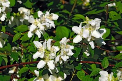 Mock Orange Pruning Tips: Cutting Back Mock Orange Shrubs - For the overall general health of the shrub, mock orange pruning should be done once a year, not just when it doesn't bloom or has gotten overgrown. Even dwarf varieties need a good pruning each year. Click this article to learn how to trim mock orange shrubs.