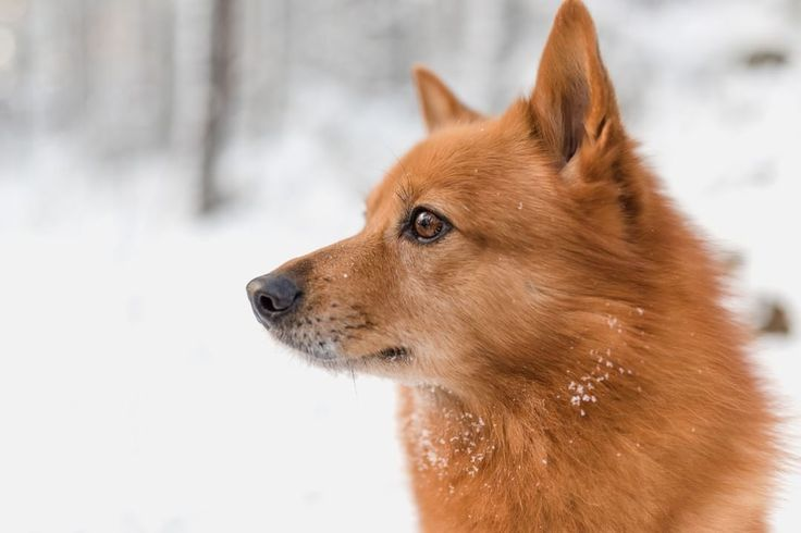 Many brilliant things come from Finland. This beautiful Finnish Spitz and Nutrolin oils just to name few! #nutrolinlife #nutrolindog #nutrolinsport #nutrolinskinandcoat #nutrolinsenior #finnishspitz #winter #avainlippu #thisisfinland #spitz #suomenpystykorva