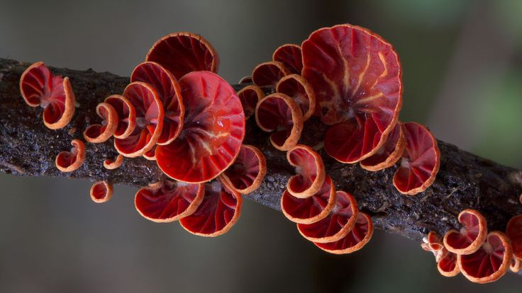 Steve Axford, the master mushroom photographer living in Australia, is back with more stunning and colorful macro pictures of the diverse and beautiful world of mushrooms. He travels across Australia and around the world to take his photos, but finds many of these mushrooms in his own back yard.