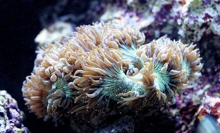 Catalaphyllia jardanei