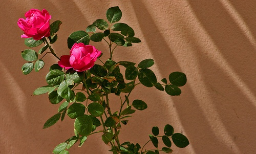 rose del Jebel Akhdar.