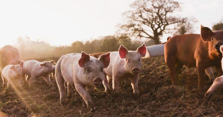 """Como criar porcos com sucedâneo do leite . Vinte por cento dos porcos recém-nascidos morrem logo após o nascimento por causa de ferimentos causados por esmagamento da porca ou devido a hipotermia, dizem os especialistas de pecuária do """"New South Wales Department of Primary Industries"""". Em seu artigo """"Suinocultura básica - A ninhada"""", Graeme Taylor e Greg Roese anunciam que os menores ..."""