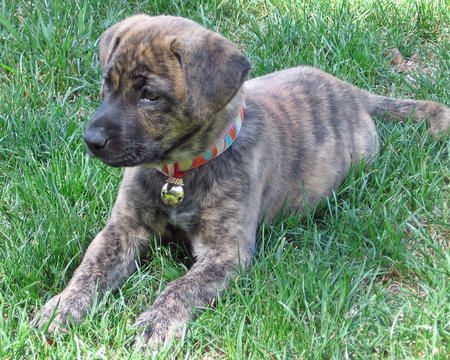 Beautiful brindle coat
