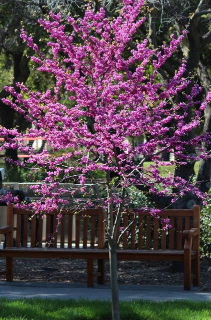 Practical spring-flowering trees - Redbud has glorious purple-pink blossoms which brighten early spring. Full sun or partial shade in hot climes. Needs well drained soil and is kept moist. Prune after bloom.