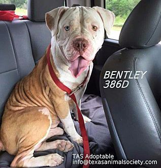 Pictures of Bentley a American Bulldog for adoption in Spring, TX who needs a loving home.