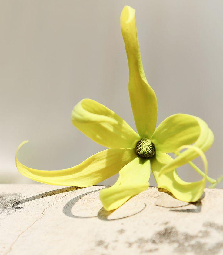 Les 97 meilleures images du tableau ylang ylang cananga for Plante ylang ylang