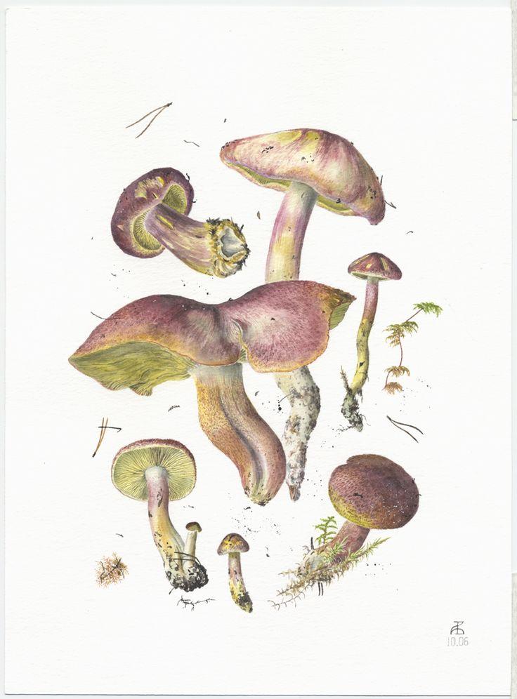 http://www.pelcor.com/mushrooms/PagesOriginals/Tricolomopsis rutilans Or.html