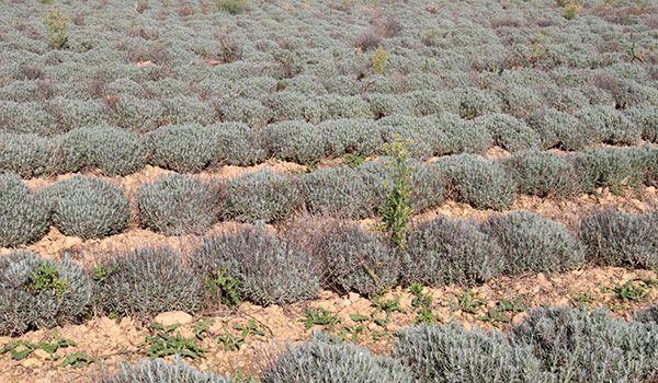 Tisane bio - Le Dauphin  ;  champ de lavandes en Drôme Provençale