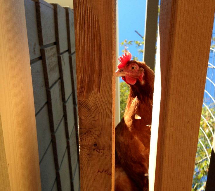 A red on the outside roost