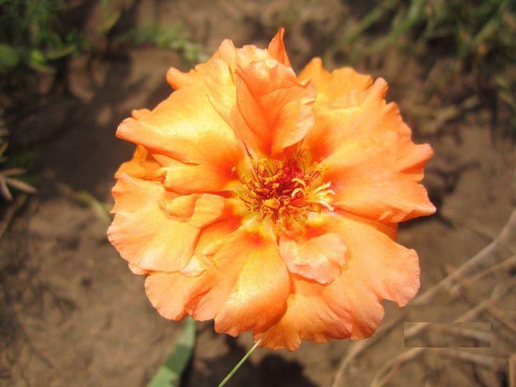 Портулак крупноцветковый Солнечная страна Пламя