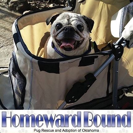 Today We Are Featuring Yet Another Amazing Pug Rescue Group And