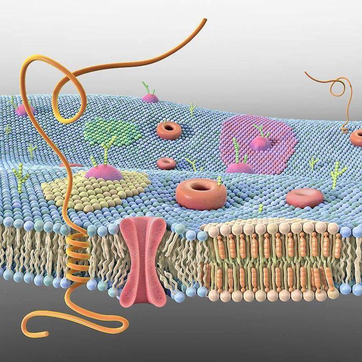 Cell Membrane 3D