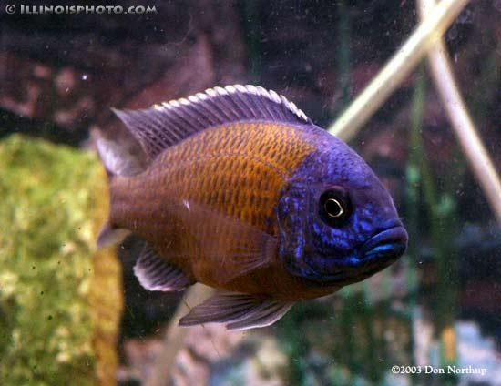 17 best images about fish on pinterest betta fish tank for Best freshwater aquarium fish combination