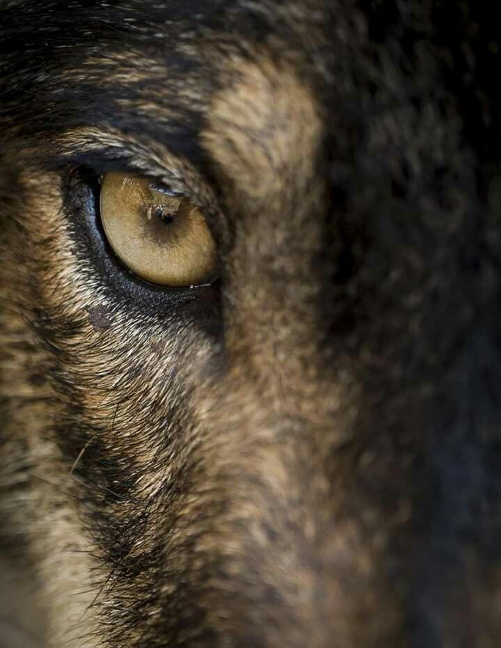 Iberian Wolf eye