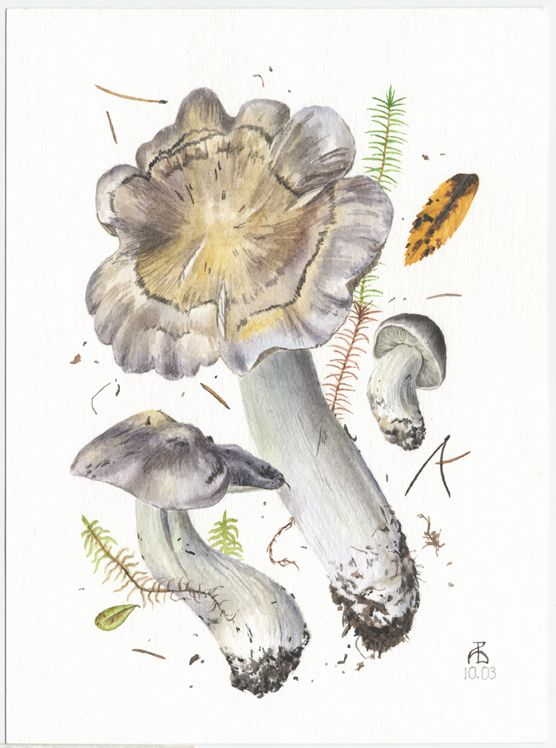 http://www.pelcor.com/mushrooms/PagesOriginals/Tricholoma portentosum II Or.html