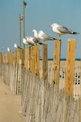 A  FLOCK  OF  SEAGULLS                                                Ocean City, Maryland  USA                                        Beautiful Photograph!                                                    By: Rachael Cooper | Grace Lynn