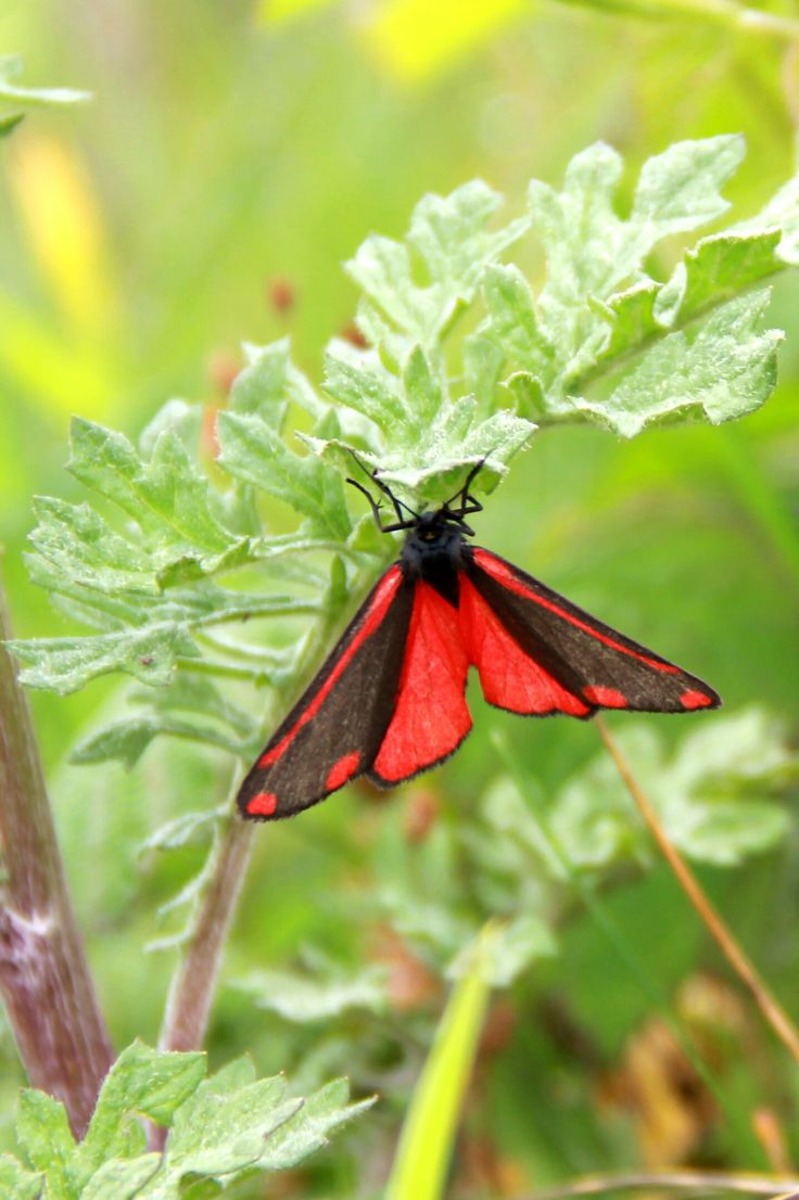 Een sint-jacobsvlinder. Ook voor een workshop  A cinnabar moth. Also taken for a workshop.  Taken with: Canon EOS 60D