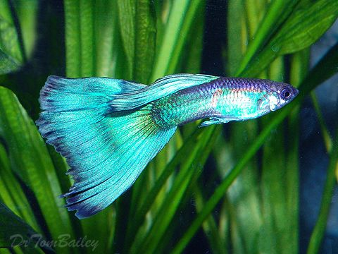 A young mature male Blue Guppy. To see more click on ... www.AquariumFish.net/catalog_pages/livebearer_guppies/guppies_table.htm#top2