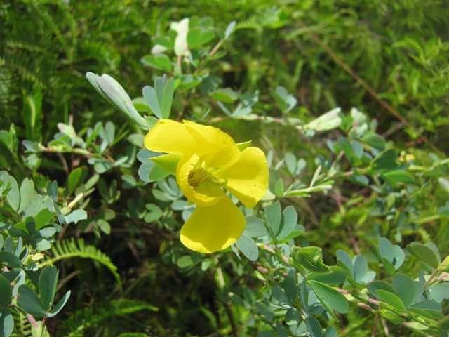 Flor de carga-rocío