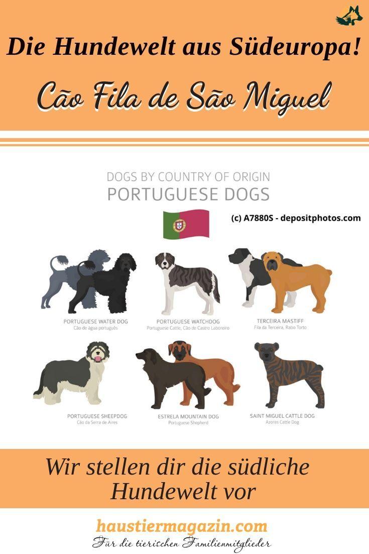 Cao Fila De Sao Miguel Saint Miguel Cattle Dog Steckbrief In 2020 Hunderassen Hunde Rassen Arbeitshunde