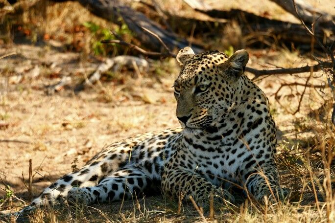 My favourite Leopard male leopard  - Torchwood, relaxing in the shade.