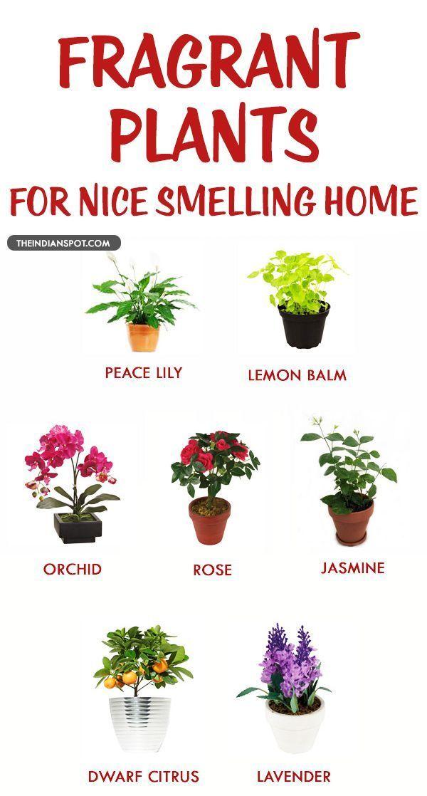 Ich mchte Lavendel Lilie und Jasmin  jasmin flower  Hauspflanzen Zimmerpflanzen und