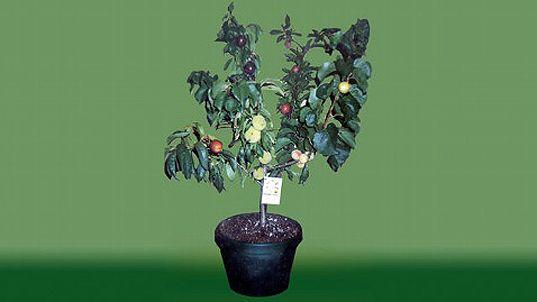diseño verde, diseño ecológico, diseño sustentable, Tree Fruit Salad, varios árboles frutales, James West, Kerry West, árboles injertados, híbrido botánico