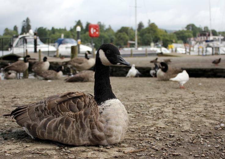 Windemere Goose
