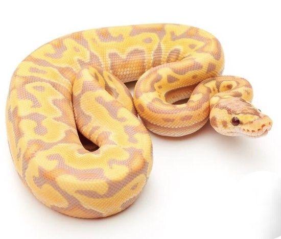 Banana Pastel Puzzle Ball Python | Insane Ball Python Morphs | Ball