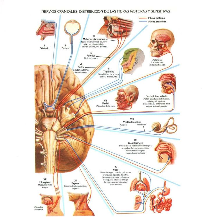 Mejores 37 imágenes de Cabeza en Pinterest | Anatomía humana, El ...