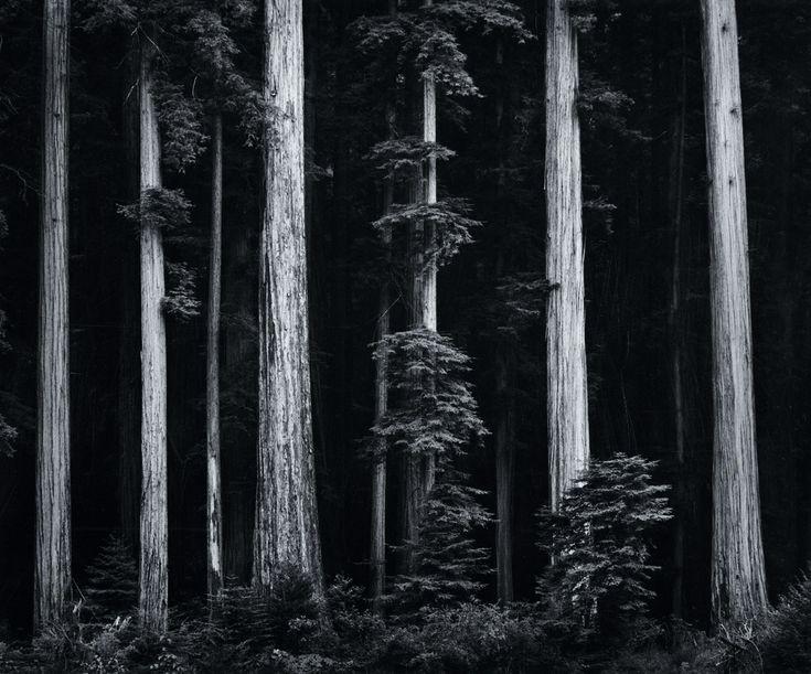 Redwoods, Bull Creek Flat, Northern California. photo by Ansel Adams, 1960