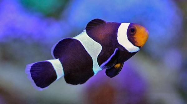 Ora Black White Ocellaris Clownfish Captive Bred Clown Fish Saltwater Aquarium Fish