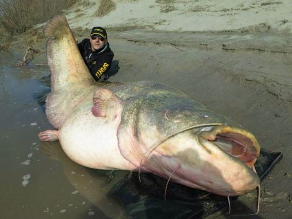 The new world record wels catfish taken from the Po river , Italy