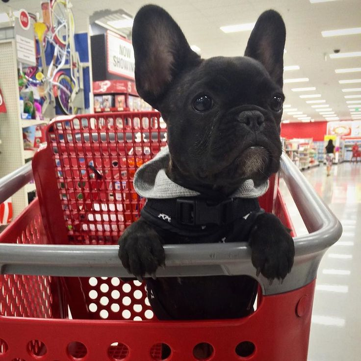 French Bulldog Puppy:
