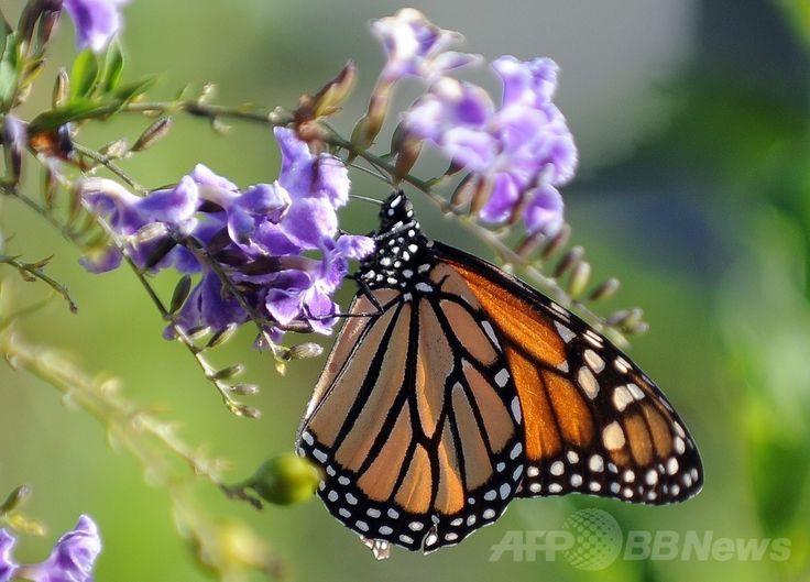 米ロサンゼルス(Los Angeles)で花にとまるオオカバマダラ(2010年10月28日撮影)。(c)AFP/GABRIEL BOUYS ▼25Jun2014AFP|オオカバマダラ、太陽と地磁気で大移動の進路決定か 米研究 http://www.afpbb.com/articles/-/3018694 #Monarch_butterfly #Danaus_plexippus #Monarque_papillon #Monarchfalter #KupuKupu_Raja #Monarchvlinder #Kral_kelebegi
